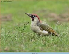 green-woodpecker-47.jpg