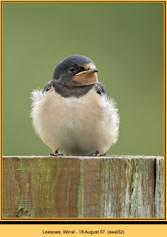 swallow-32.jpg