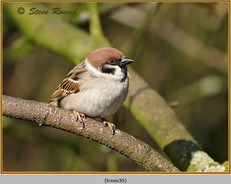 tree-sparrow-30.jpg