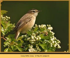 sedge-warbler-13.jpg