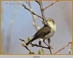 willow-warbler-24.jpg