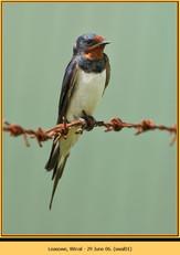 swallow-01.jpg