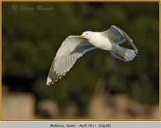 yellow-legged-gull-18.jpg