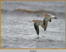 bar-tailed-godwit-04.jpg
