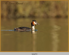 great-crested-grebe-31.jpg