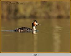 great-crested-grebe-31.jpg