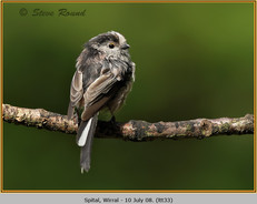 long-tailed-tit-33.jpg