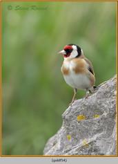 goldfinch-54.jpg