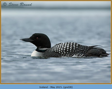 great-northern-diver-28.jpg