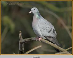 stock-dove-35.jpg