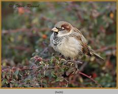 house-sparrow-26.jpg