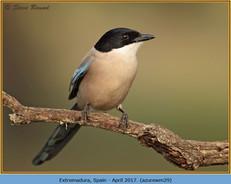 azure-winged-magpie-29.jpg