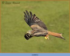 red-kite-61.jpg