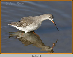 spotted-redshank-14.jpg