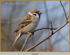 tree-sparrow-22.jpg