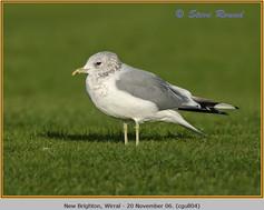 common-gull-04.jpg