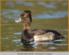 tufted-duck-10.jpg