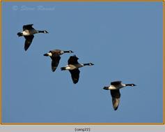 canada-goose-22.jpg