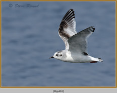 little-gull-01.jpg