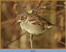 house-sparrow-49.jpg