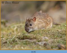 brown-rat-28.jpg