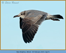 laughing-gull-17.jpg