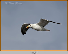 gt-b-backed-gull-29.jpg