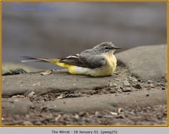 grey-wagtail-25.jpg