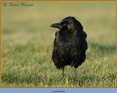 carrion-crow-32.jpg