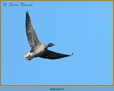 pink-footed-goose-57.jpg