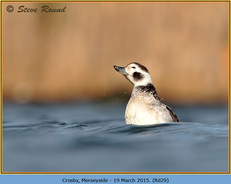 long-tailed-duck-29.jpg