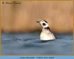 long-tailed-duck-29.jpg