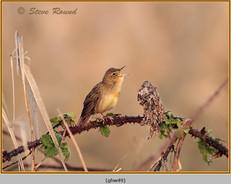 grasshopper-warbler-49.jpg