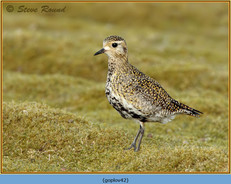 golden-plover-42.jpg