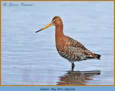 black-tailed-godwit-116.jpg
