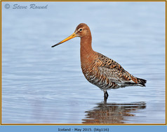 black-tailed-godwit-116.jpg