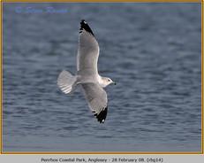 ring-billed-gull-14.jpg