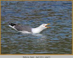 yellow-legged-gull-27.jpg