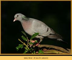 stock-dove-11.jpg