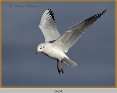 black-headed-gull-51.jpg
