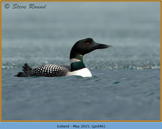 great-northern-diver-46.jpg