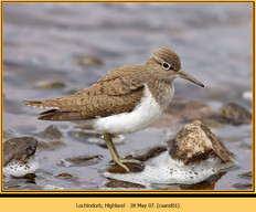 common-sandpiper-01.jpg