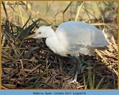 cattle-egret-74.jpg