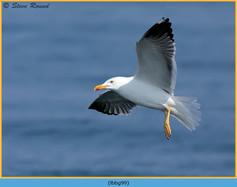 lesser-black-backed-gull- 99.jpg