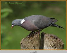 wood-pigeon-23.jpg