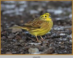 yellowhammer-34.jpg
