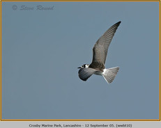 white-winged-black-tern-10.jpg