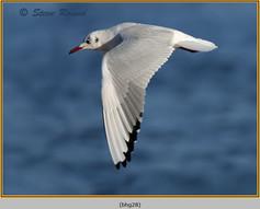 black-headed-gull-28.jpg