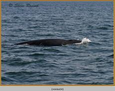minke-whale-04.jpg