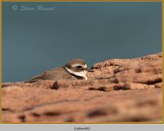 ringed-plover-46.jpg